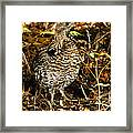 Blue Grouse Framed Print by Robert Bales