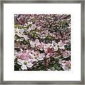 Flourishing Pink Magnolias Framed Print by Deborah  Montana