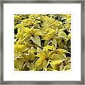 Golden Poinsettias Framed Print by Catherine Sherman