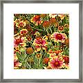 nature - flowers -Blanket Flowers Six -photography Framed Print by Ann Powell