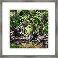 Ripening Grapes Framed Print by Carol Groenen