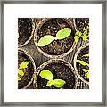Seedlings Growing In Peat Moss Pots Framed Print by Elena Elisseeva