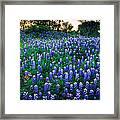 Texas Bluebonnet Field Framed Print by Inge Johnsson