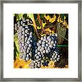 Tuscan Vineyard Framed Print by Brian Jannsen