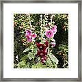 Hollyhock (alcea Rosea) Framed Print by Dr Keith Wheeler