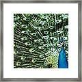 Peacock Framed Print by Ivan Vukelic