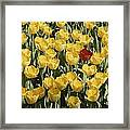 A Single Red Tulip Among Yellow Tulips Framed Print by Ted Spiegel