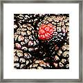 Blackberries  Framed Print by JC Findley