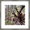 Cypress Roots Framed Print by Kristin Elmquist