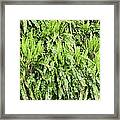 Hart's Tongue Fern Framed Print by Adrian Bicker