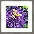 Passionflower Purple Framed Print by Rosalie Scanlon