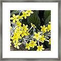 Primula Verticillata Flowers Framed Print by Bob Gibbons