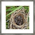 Red-winged Blackbird Baby In Nest Framed Print by J McCombie