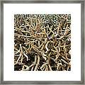 Staghorn Coral Framed Print by Matthew Oldfield