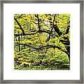 Swamp Birch In Autumn Framed Print by Thomas R Fletcher
