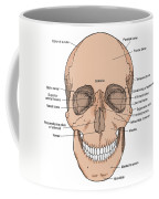 Illustration Of Anterior Skull Coffee Mug by Science Source