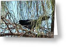 Great-tailed Grackle Greeting Card by Beverly Guilliams