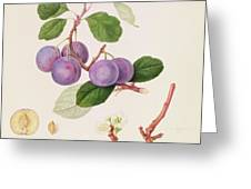 La Royale Plum Greeting Card by William Hooker