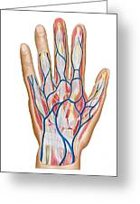 Anatomy Of Back Of Human Hand Greeting Card by Stocktrek Images
