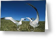 Antipodean Albatross Courtship Display Greeting Card by Tui De Roy