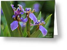 Blue Iris Drama Greeting Card by Carol Groenen