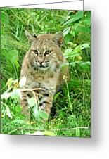 Bobcat Lynk Sitting In Grass Close-up Greeting Card by Sylvie Bouchard