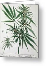 Cannabis  Greeting Card by Elizabeth Blackwell