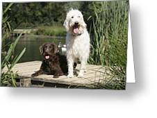 Chocolate And Cream Labradoodles Greeting Card by John Daniels
