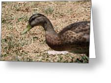 Duck - Animal - 011316 Greeting Card by DC Photographer
