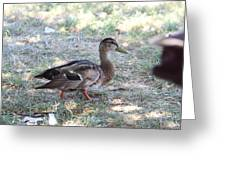 Duck - Animal - 01133 Greeting Card by DC Photographer