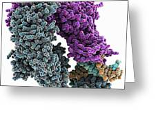 E. Coli Dna Mismatch Repair Complex Greeting Card by Science Photo Library