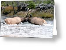 Elk Fighting  Greeting Card by Cody Hoagland