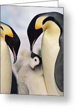 Emperor Penguin Parents With Chick Greeting Card by Konrad Wothe