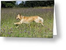 Golden Retriever Running Greeting Card by John Daniels