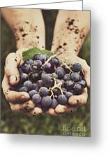 Grapes Harvest Greeting Card by Mythja  Photography