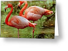 Greater Flamingoes  Greeting Card by Millard H Sharp