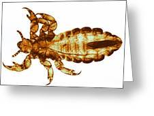 Human Louse, Lm Greeting Card by Eric V. Grave
