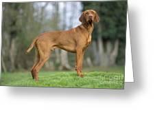 Hungarian Vizsla Dog Greeting Card by John Daniels