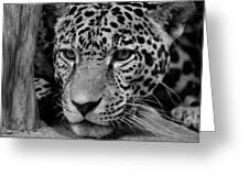 Jaguar in Black and White II Greeting Card by Sandy Keeton