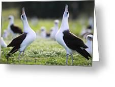 Laysan Albatross Courtship Dance Hawaii Greeting Card by Tui De Roy