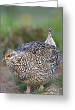 Male Columbian Sharp-tailed Grouse Greeting Card by William H. Mullins