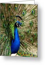 Peacock Splendor Greeting Card by Phil Huettner
