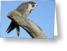 Peregrine Falcon Greeting Card by Paulette Thomas
