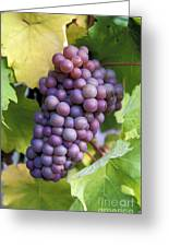 Pinot Gris Grapes Greeting Card by Kevin Miller