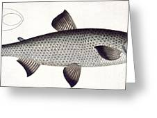 Salmon Greeting Card by Andreas Ludwig Kruger