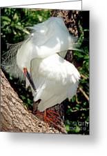 Snowy Egret In Breeding Plumage Greeting Card by Millard H. Sharp