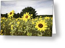 Sunflower Patch Greeting Card by Ray Summers Photography