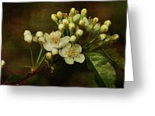 White Blossoms Greeting Card by Cindi Ressler