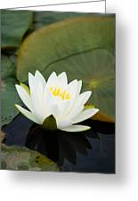 White Water Lily Greeting Card by Matt Dobson