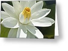White Water Lily - Nymphaea Greeting Card by Heiko Koehrer-Wagner